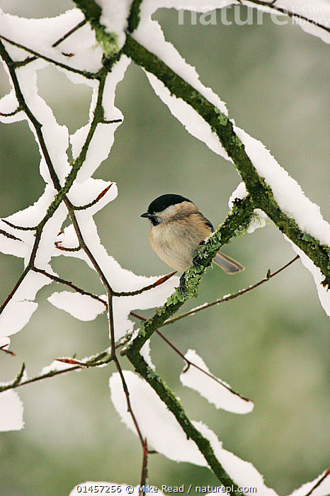 Marsh tit (Parus palustris) perched on snowy branch, New Forest National Park, Hampshire, England, UK, January.  ,  ANIMAL,VERTEBRATE,BIRDS,SONGBIRD,TIT,MARSH TIT,ANIMALIA,ANIMAL,WILDLIFE,VERTEBRATE,CHORDATE,AVES,BIRDS,PASSERIFORMES,SONGBIRD,PASSERINE,PARIDAE,TIT,POECILE,POECILE PALUSTRIS,MARSH TIT,PARUS PALUSTRIS,EUROPE,WESTERN EUROPE,WEST EUROPE,UK,BRITAIN,GREAT BRITAIN,UNITED KINGDOM,ENGLAND,HAMPSHIRE,SNOW,WINTER  ,  Mike Read