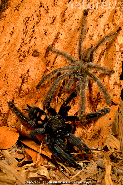 Venezuelan Suntiger (Psalmopoeus irminia) male attempting to mate with female, captive endemic to Venezuela.  ,  ANIMAL,ARTHROPOD,ARACHNID,SPIDER,TARANTULA,DEVIL TREE SPIDER,ANIMALIA,ANIMAL,WILDLIFE,CHELICERATA,ARTHROPOD,CHELICERATE,ARTHROPODA,ARACHNIDA,ARACHNID,ARANAE,SPIDER,THERAPHOSIDAE,TARANTULA,PSALMOPOEUS,PSALMOPOEUS IRMINIA,DEVIL TREE SPIDER,VERTICAL,ANIMAL BEHAVIOUR,REPRODUCTION,MATING BEHAVIOUR,BEHAVIOUR,INVERTEBRATE  ,  Daniel  Heuclin