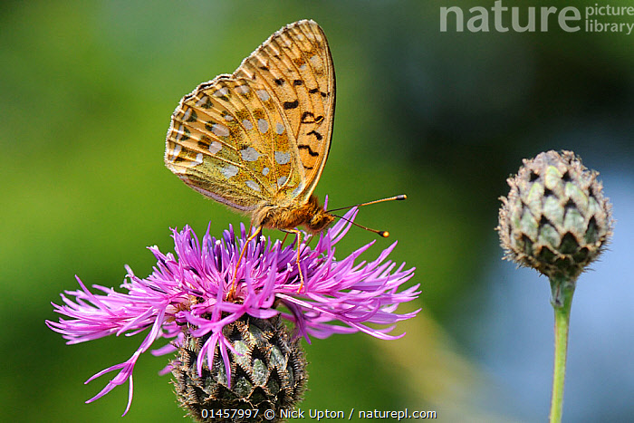 Dark green fritillary butterfly (Argynnis aglaja) feeding on Greater knapweed flower (Centaurea scabiosa) in a chalk grassland meadow, Wiltshire, UK, July.  ,  ANIMAL,ARTHROPOD,INSECT,BRUSHFOOTED BUTTERFLY,FRITILLARY,DARK GREEN FRITILLARY,ANIMALIA,ANIMAL,WILDLIFE,HEXAPODA,ARTHROPOD,INVERTEBRATE,HEXAPOD,ARTHROPODA,INSECTA,INSECT,LEPIDOPTERA,LEPIDOPTERANS,NYMPHALIDAE,BRUSHFOOTED BUTTERFLY,FOURFOOTED BUTTERFLY,NYMPHALID,BUTTERFLY,PAPILIONOIDEA,ARGYNNIS,FRITILLARY,LONGWING,HELICONIAN,HELICONNINAE,ARGYNNIS AGLAJA,DARK GREEN FRITILLARY,PAPILIO AGLAJA,PAPILIO CHARLOTTA,MESOACIDALIA AGLAJA,BIOLOGICAL PROCESS,POLLINATION,POLLINATE,POLLINATES,POLLINATING,EUROPE,WESTERN EUROPE,WEST EUROPE,UK,BRITAIN,GREAT BRITAIN,UNITED KINGDOM,ENGLAND,WILTSHIRE,PLANT,PLANTS,FLOWERING,FLOWERS,SEASON,SEASONS,SUMMER,ANIMAL BEHAVIOUR,FEEDING,BEHAVIOUR,,Dispersal,  ,  Nick Upton