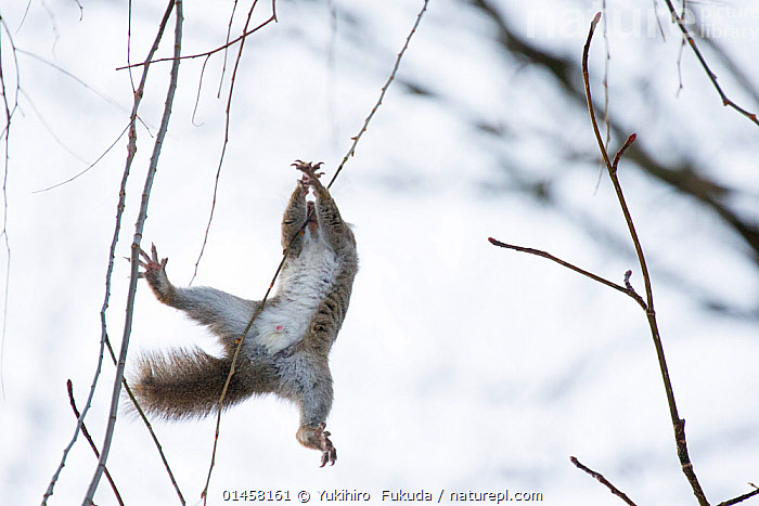 Japanese squirrel (Sciurus lis) trying to climb up a thin branch after an female in oestrus , Mount Yatsugatake, Nagano Prefecture, Japan, February. Endemic species.  ,  catalogue7,Animal,Vertebrate,Mammal,Rodent,Squirrel,Japanese squirrel,Genitals,Reproductive organs,Reproduction,Sex organ,Animalia,Animal,Wildlife,Vertebrate,Mammalia,Mammal,Rodentia,Rodent,Sciuridae,Sciurus,Squirrel,Sciurus lis,Japanese squirrel,Moving Down,Falling,Falls,Courting,Crisis,Misfortune,Mid Air,Nobody,Asia,East Asia,Japan,Chubu,Nagano Prefecture,Male Animal,Plant,Branch,Branches,Outdoors,Open Air,Outside,Winter,Day,Emergency,Accident,Nature,Natural,Natural World,Wild,Animal Behaviour,Mating Behaviour,Courtship,Behaviour,Reproductive system,Genitalia,Endemic,Sex organs,Penis,Genitals,Reproductive organs,Reproduction,Sex organ,Ventral view,Underside,Moving,Mount Yatsugatake  ,  Yukihiro  Fukuda