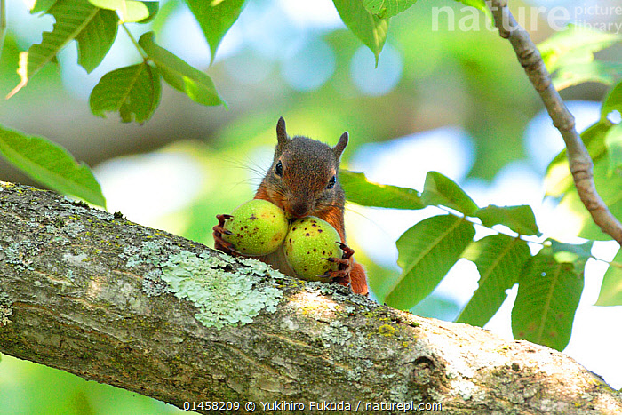 Japanese squirrel (Sciurus lis) carrying two Walnut (Juglans ailantifolia), Mount Yatsugatake, Nagano Prefecture, Japan, August. Endemic species.  ,  high1314,Plant,Vascular plant,Flowering plant,Rosid,Walnut,Animal,Vertebrate,Mammal,Rodent,Squirrel,Japanese squirrel,Plantae,Plant,Tracheophyta,Vascular plant,Magnoliopsida,Flowering plant,Angiosperm,Seed plant,Spermatophyte,Spermatophytina,Angiospermae,Fagales,Rosid,Dicot,Dicotyledon,Rosanae,Juglandaceae,Walnut,Animalia,Animal,Wildlife,Vertebrate,Mammalia,Mammal,Rodentia,Rodent,Sciuridae,Sciurus,Squirrel,Sciurus lis,Japanese squirrel,Carries,Carry,Alertness,Alert,Greed,Greedy,Protection,Nobody,Asia,East Asia,Japan,Chubu,Nagano Prefecture,Close Up,Front View,View From Front,Branch,Branches,Leaf,Foliage,Food,Nut,Nuts,Nutshell,Nutshells,Walnuts,Outdoors,Open Air,Outside,Day,Endemic,Direct Gaze,Protector,Mount Yatsugatake,Native Species,Tree,Trees  ,  Yukihiro  Fukuda