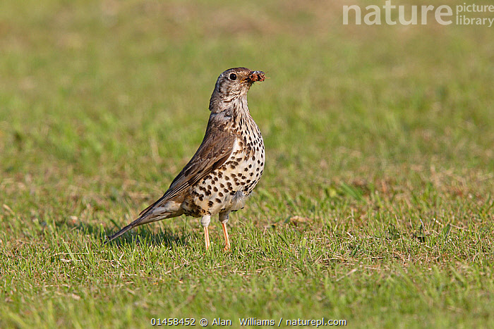 Mistle Thrush (Turdus viscivorus) in field with moth prey, Cheshire, UK, June.  ,  ANIMAL,VERTEBRATE,BIRDS,SONGBIRD,THRUSH,TRUE THRUSH,MISTLE THRUSH,ANIMALIA,ANIMAL,WILDLIFE,VERTEBRATE,CHORDATE,AVES,BIRDS,PASSERIFORMES,SONGBIRD,PASSERINE,TURDIDAE,THRUSH,TURDUS,TRUE THRUSH,TURDUS VISCIVORUS,MISTLE THRUSH,MISTLETOE THRUSH,EUROPE,WESTERN EUROPE,WEST EUROPE,UK,BRITAIN,GREAT BRITAIN,UNITED KINGDOM,ENGLAND,CHESHIRE,HORIZONTAL,FEEDING  ,  Alan  Williams