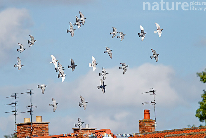 Domestic pigeons (Columba livia) flock in flight over houses, Cheshire, UK, June.  ,  catalogue6,Animal,Vertebrate,Birds,Dove,Typical pigeon,Rock pigeon,Animalia,Animal,Wildlife,Vertebrate,Chordate,Aves,Birds,Columbiformes,Dove,Pigeon,Columbidae,Columba,Typical pigeon,Columba livia,Rock pigeon,Rock dove,Feral pigeon,Feral dove,Flying,Moving After,Following,Follow,Follows,Direction,Ease,Easy,Freedom,On The Move,Flocking,Flocks,Many,Group,Large Group,No One,Nobody,Europe,Western Europe,UK,Great Britain,England,Cheshire,Horizontal,Object,Equipment,Communication Equipment,Telecommunication Equipment,Telecommunications,Antenna,Antennas,Television Antenna,TV Aerial,TV Aerials,TV Antenna,TV Antennas,Television Aerial,Television Aerials,Television Antennas,Chimney,Chimneys,Outdoors,Open Air,Outside,Day,Flight,Moving,Formation,Flight Formation,United Kingdom  ,  Alan  Williams