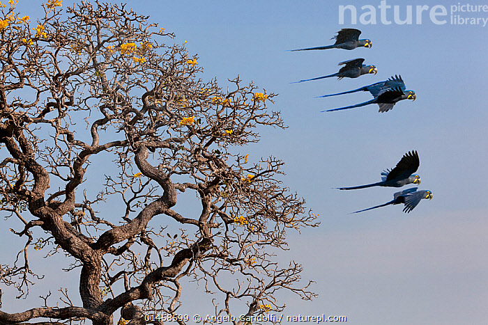 Hyacinth Macaw (Anodorhynchus hyacinthinus) small group in flight, Brazil.  ,  catalogue6,Animal,Vertebrate,Birds,Parrot,True parrot,Macaw,Hyacinth macaw,Animalia,Animal,Wildlife,Vertebrate,Chordate,Aves,Birds,Psittaciformes,Parrot,Psittacines,Psittacidae,True parrot,Psittacoidea,Anodorhynchus,Macaw,Neotropical parrots,Arini,Arinae,Anodorhynchus hyacinthinus,Hyacinth macaw,Flying,Direction,Speed,Togetherness,Close,Together,Colour,Blue,Few,Group,Medium Group,No One,Nobody,Latin America,South America,Brazil,Side View,Plant,Branch,Branches,Sky,Clear Sky,Outdoors,Open Air,Outside,Day,Flight,Medium group of animals,Blue sky,Endangered species,threatened,Endangered  ,  Angelo Gandolfi