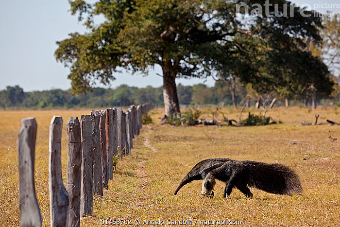 Giant Anteater (Myrmecophaga tridactyla) approaching livestock  fence, Pantanal. Brazil, catalogue6,Animal,Vertebrate,Mammal,Anteater,Giant anteater,Pantanal wetlands,Animalia,Animal,Wildlife,Vertebrate,Chordate,Mammalia,Mammal,Pilosa,Myrmecophagidae,Anteater,Myrmecophaga,Myrmecophaga tridactyla,Giant anteater,Myrmecophaga iubata,Approaching,Approach,Approaches,Approachs,Crossing,Walking,Bizarre,Determination,Direction,On The Move,Sureness,Certain,Certainty,Sure,No One,Nobody,Latin America,South America,Brazil,Side View,Plant,Tree,Boundary,Fence,Outdoors,Open Air,Outside,Day,Environment,Environmental Issues,Conservation,Pantanal,Pantanal wetlands,Moving,Fence Post,Endangered species,threatened,Vulnerable, Angelo Gandolfi