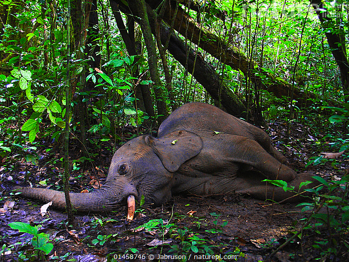 Dying African forest elephant (Loxodonta africana cyclotis), shot and wounded by poachers, near Lokoue Bai. Odzala-Kokoua National Park, Republic of Congo.  ,  catalogue6,Animal,Vertebrate,Mammal,Elephant,African elephants,African elephant,Animalia,Animal,Wildlife,Vertebrate,Chordate,Mammalia,Mammal,Proboscidea,Elephantidae,Elephant,Loxodonta,African elephants,African elephant,Lying down,Lying On Side,Cruelty,Illegal,Alone,Solitude,Solitary,Weakness,Weak,No One,Nobody,Africa,Central Africa,Republic of the Congo,Outdoors,Open Air,Outside,Day,Environment,Environmental Issues,Woodland,Rainforest,Tropical rainforest,Reserve,Forest,Conservation,Death,Dying,Poaching,Protected area,National Park,African forest elephant,Endangered,Endangered species,Wildlife crime,Forest floor,Animal Cruelty,Lying on ground,Lokoue Bai,Odzala Kokoua National Park,Shot,Endangered species,threatened,Endangered  ,  Jabruson