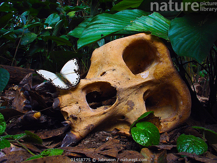 Western Gorilla (Gorilla gorilla) silverback skull with butterfly (Belenois theszi). Gorilla diedd from the Ebola Virus, which killed 128 people in the region in 2003 and in 2005 killed 95% of the Gorilla population in the Odzala-Kokoua National Park. Odzala Kokoua NP, Republic of Congo, June 2004., high1314,,Animal,Wildlife,Arthropod,Insect,Butterfly,Caper white,Vertebrate,Mammal,Ape,Great ape,Gorilla,Western Gorilla,Central Caper White,Ebola virus,Animalia,Animal,Wildlife,Hexapoda,Arthropod,Invertebrate,Hexapod,Arthropoda,Insecta,Insect,Lepidoptera,Lepidopterans,Pieridae,Butterfly,Papilionoidea,Belenois,Caper white,Vertebrate,Mammalia,Mammal,Primate,Primates,Hominidae,Ape,Great ape,Hominoidea,Gorilla,Gorilla gorilla,Western Gorilla,Lowland Gorilla,New Beginnings,New Life,Contrasts,Mood,Dead,White,Nobody,Africa,Central Africa,Republic of the Congo,Animal Skulls,Skull,Skulls,Outdoors,Day,Ideas,Woodland,Rainforest,Tropical rainforest,Forest,Death,Protected area,National Park,Central Caper White,Virus,Mononegavirales,Filoviridae,Ebolavirus,Ebola virus,EBOV,Zaire ebolavirus,Ebola virus disease,Ebola hemorrhagic fever,EHF,EVD,Forest floor,Beginnings,Belenois theszi,Ebola,Ebola Virus,Eye Socket,Endangered species,threatened,Critically endangered,Disease, Jabruson