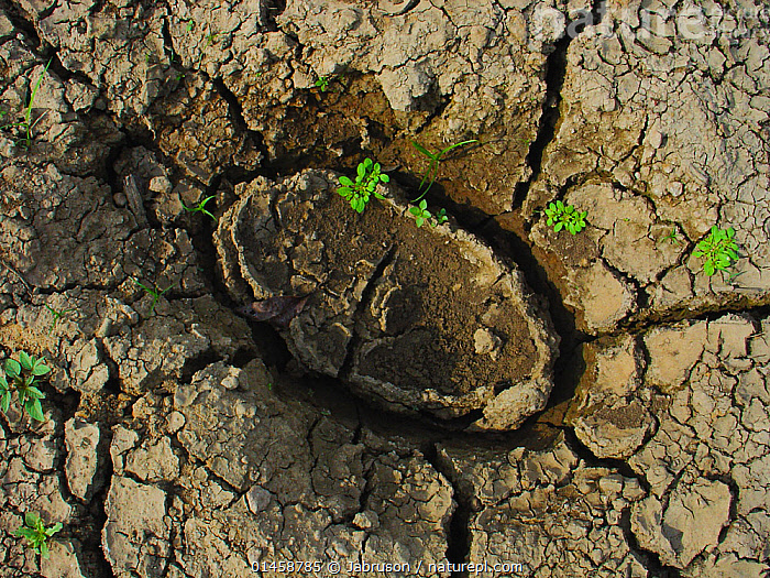 African forest elephant (Loxodonta africana cyclotis) footprint in drying mud, Romani Bai, Odzala-Kokoua National Park, Republic of Congo.  ,  catalogue6,Animal,Vertebrate,Mammal,Elephant,African elephants,Animalia,Animal,Wildlife,Vertebrate,Chordate,Mammalia,Mammal,Proboscidea,Elephantidae,Elephant,Loxodonta,African elephants,Absence,Absent,No One,Nobody,Cracked,Dry,Dried,Africa,Central Africa,Republic of the Congo,Close Up,Mud,Muddy,Outdoors,Open Air,Outside,Day,Reserve,Track,Tracks,Footprints,Protected area,National Park,African forest elephant,Endangered,Endangered species,Trace,Odzala Kokoua National Park,Romani Bai  ,  Jabruson
