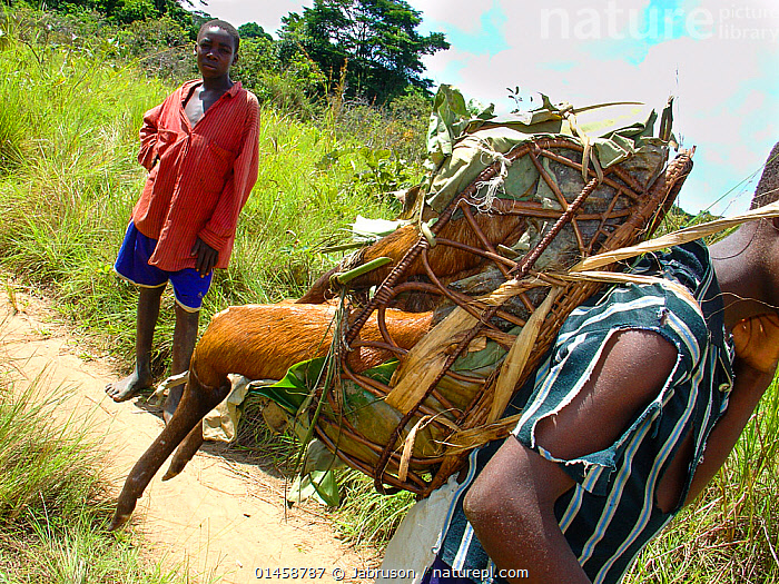 Boy carrying bushmeat to market, Black-fronted Duiker (Cephalophus nigrifrons). Mbomo, Odzala-Kokoua National Park, Republic of Congo.  ,  catalogue6,Animal,Vertebrate,Mammal,Bovid,Duiker,Black fronted Duiker,Animalia,Animal,Wildlife,Vertebrate,Chordate,Mammalia,Mammal,Artiodactyla,Even toed ungulates,Bovidae,Bovid,ruminantia,Ruminant,Cephalophus,Duiker,Cephalophus nigrifrons,Black fronted Duiker,Hand On Hip,Hand On Hips,Hands On Hips,Standing,Carries,Carry,People,African Descent,Male,Barefoot,Bare Feet,Barefeet,Barefooted,Dead,Dead Animal,Carcass,2 People,Two Person,Two Persons,Africa,Central Africa,Republic of the Congo,Animal Limbs,Limb,Limbs,Animal Legs,Legs,Leg,Hind Leg,Hind Legs,Path,Footpath,Footpaths,Paths,Trail,Trails,Outdoors,Open Air,Outside,Day,Environment,Environmental Issues,Reserve,Conservation,Death,Bushmeat,Wildlife trade,Conservation issues,Protected area,National Park,Animal trade,Local people,Direct Gaze,Carrying on back,Odzala Kokoua National Park,Mbomo,,eye contact,  ,  Jabruson