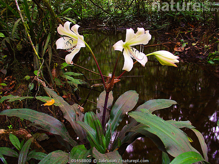 Forest Lilly (Crinum) growing along forest stream near Romani Bai. Odzala-Kokoua National Park, Republic of Congo  ,  PLANT,VASCULAR PLANT,FLOWERING PLANT,MONOCOT,SWAMP LILY,PLANTAE,PLANT,TRACHEOPHYTA,VASCULAR PLANT,MAGNOLIOPSIDA,FLOWERING PLANT,ANGIOSPERM,SEED PLANT,SPERMATOPHYTE,SPERMATOPHYTINA,ANGIOSPERMAE,ASPARAGALES,MONOCOT,MONOCOTYLEDON,LILIANAE,AMARYLLIDACEAE,CRINUM,SWAMP LILY,COLOUR,WHITE,AFRICA,CENTRAL AFRICA,REPUBLIC OF THE CONGO,PLANTS,FLOWER,FLOWERING,FLOWERS,RAINFOREST,TROPICAL RAINFOREST,WOODLAND,COLOR,PROTECTED AREA,NATIONAL PARK,NP,RESERVE  ,  Jabruson