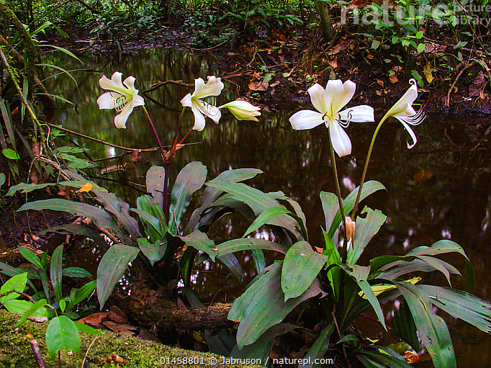 Forest Lilly (Crinum) growing along forest stream near Romani Bai. Odzala-Kokoua National Park, Republic of Congo  ,  PLANT,VASCULAR PLANT,FLOWERING PLANT,MONOCOT,SWAMP LILY,PLANTAE,PLANT,TRACHEOPHYTA,VASCULAR PLANT,MAGNOLIOPSIDA,FLOWERING PLANT,ANGIOSPERM,SEED PLANT,SPERMATOPHYTE,SPERMATOPHYTINA,ANGIOSPERMAE,ASPARAGALES,MONOCOT,MONOCOTYLEDON,LILIANAE,AMARYLLIDACEAE,CRINUM,SWAMP LILY,COLOUR,WHITE,AFRICA,CENTRAL AFRICA,REPUBLIC OF THE CONGO,PLANTS,FLOWER,FLOWERING,FLOWERS,COLOR,PROTECTED AREA,NATIONAL PARK,NP,RESERVE  ,  Jabruson