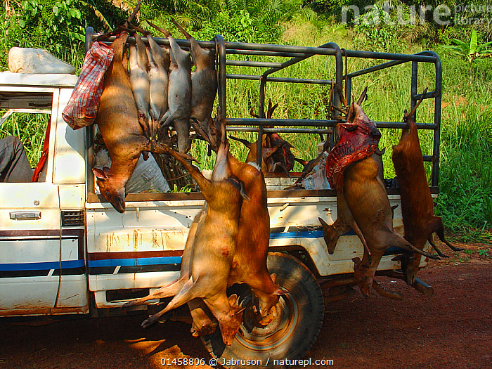 Vehicle carrying several different duiker carcasses for commercial bushmeat trade including: Blue Duiker (Cephalophus monticola), Bay Duiker (Cephalophus dorsalis), Peter's Duiker (Cephalophus callipygus), on the Ouesso to Makoua highway leading past Odzala-Kokoua National Park, Republic of Congo. May 2005. Taken with concealed camera.  ,  catalogue6,Animal,Vertebrate,Mammal,Bovid,Duiker,Blue duiker,Bay duiker,Animalia,Animal,Wildlife,Vertebrate,Chordate,Mammalia,Mammal,Artiodactyla,Even toed ungulates,Bovidae,Bovid,ruminantia,Ruminant,Cephalophus,Duiker,Philantomba,Philantomba monticola,Hanging,People,Incidental People,Incidental Person,People In The Background,Background People,Background Person,People In Background,Person In Background,Dead,Dead Animal,Carcass,Upside Down,Inverted,Upturned,Tied Up,Bound,Tether,Tethers,Tied,Africa,Central Africa,Republic of the Congo,Road,Major Road,Main Road,Land Vehicle,Motor Vehicle,Outdoors,Open Air,Outside,Day,Environment,Environmental Issues,Reserve,Conservation,Death,Bushmeat,Wildlife trade,Conservation issues,Protected area,National Park,Cephalophus monticola,Blue duiker,Bay duiker,Animal trade,Odzala Kokoua National Park  ,  Jabruson