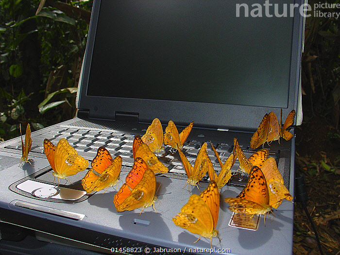 Leopard butterflies (Phalanta eurytis) attracted to salts from sweat on laptop keyboard. Romani Bai camp. Odzala-Kokoua National Park, Republic of Congo.  ,  ANIMAL,ARTHROPOD,INSECT,BRUSHFOOTED BUTTERFLY,FOREST LEOPARD BUTTERFLY,ANIMALIA,ANIMAL,WILDLIFE,HEXAPODA,ARTHROPOD,INVERTEBRATE,HEXAPOD,ARTHROPODA,INSECTA,INSECT,LEPIDOPTERA,LEPIDOPTERANS,NYMPHALIDAE,BRUSHFOOTED BUTTERFLY,FOURFOOTED BUTTERFLY,NYMPHALID,BUTTERFLY,PAPILIONOIDEA,AFRICA,CENTRAL AFRICA,REPUBLIC OF THE CONGO,EQUIPMENT,COMPUTER EQUIPMENT,COMPUTER,LAPTOP,ANIMAL BEHAVIOUR,BEHAVIOUR,PROTECTED AREA,NATIONAL PARK,NP,RESERVE,FOREST LEOPARD BUTTERFLY  ,  Jabruson