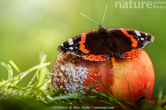 Red Admiral butterfly (Vanessa atalanta) feeding on rotten apple. Derbyshire, August., catalogue6,Animal,Arthropod,Insect,Brushfooted butterfly,Red admiral,Animalia,Animal,Wildlife,Hexapoda,Arthropod,Invertebrate,Hexapod,Arthropoda,Insecta,Insect,Lepidoptera,Lepidopterans,Nymphalidae,Brushfooted butterfly,Fourfooted butterfly,Nymphalid,Butterfly,Papilionoidea,Vanessa,Vanessa atalanta,Red admiral,Papilio atalanta,Pyrameis ammiralis,Pyrameis atalanta,Resting,Rest,Decomposition,Decaying,No One,Nobody,Pattern,Patterned,Patterns,Europe,Western Europe,UK,Great Britain,England,Derbyshire,Close Up,Plant,Flower,Wing,Wings,Outdoors,Open Air,Outside,Season,Seasons,Spring,Day,Animal Behaviour,Feeding,Behaviour,Fruit,Wings spread,Wingspan,Animal marking,Mould,Plants,United Kingdom, Alex  Hyde