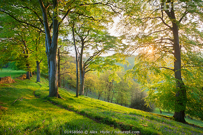 Beech (Fagus sylvatica) woodland in spring, at dawn, Peak District National Park, Cheshire, UK, May.  ,  catalogue6,Plant,Vascular plant,Flowering plant,Rosid,Beech tree,European beech tree,Plantae,Plant,Tracheophyta,Vascular plant,Magnoliopsida,Flowering plant,Angiosperm,Seed plant,Spermatophyte,Spermatophytina,Angiospermae,Fagales,Rosid,Dicot,Dicotyledon,Rosanae,Fagaceae,Fagus,Beech tree,Beech,Fagus sylvatica,European beech tree,Common beech,Castanea fagus,Fagus asplenifolia,Fagus cristata,Atmospheric Mood,Atmospheric,Mood,Calm,No One,Nobody,Europe,Western Europe,UK,Great Britain,England,Cheshire,Diminishing Perspective,Tree,Light,Lights,Sunlight,Sunrise,Countryside,Outdoors,Open Air,Outside,Season,Seasons,Spring,Day,Woodland,Reserve,Forest,Protected area,National Park,Peak district,Dawn,Tree,Trees,PLANTS,United Kingdom  ,  Alex  Hyde