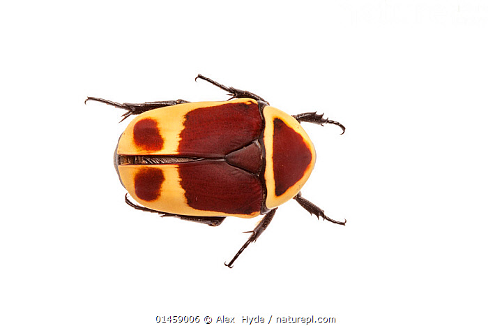 Sun Beetle (Pachnoda marginata peregrina) photographed on a white background. Captive, originating from west and central Africa, catalogue6,Animal,Arthropod,Insect,Beetle,Scarab,Flower chafer,Sun beetle,Animalia,Animal,Wildlife,Hexapoda,Arthropod,Invertebrate,Hexapod,Arthropoda,Insecta,Insect,Coleoptera,Beetle,Endopterygota,Neoptera,Scarabaeidae,Scarab,Scarabid,Scarabaeoidea,Polyphaga,Pachnoda,Flower chafer,Chafer,Cetoniinae,Colour,Brown,Orange,No One,Nobody,Pattern,Patterned,Patterns,Africa,Central Africa,Copy Space,Cutout,Plain Background,White Background,Close Up,High Angle View,Indoors,Studio Shot,Studio Shots,Sun beetle,Elevated view,Animal marking, Alex  Hyde