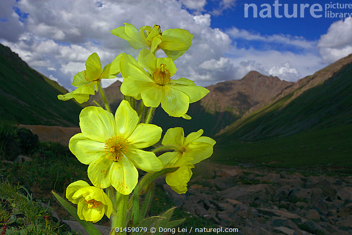 Yellow poppywort (Meconopsis integrifolia) flowering, Qinghai-Tibet Plateau, Shiqu County, Sichuan Province, China, August., catalogue6,Plant,Vascular plant,Flowering plant,Dicot,Yellow Poppywort,Plantae,Plant,Tracheophyta,Vascular plant,Magnoliopsida,Flowering plant,Angiosperm,Seed plant,Spermatophyte,Spermatophytina,Angiospermae,Ranunculales,Dicot,Dicotyledon,Ranunculanae,Papaveraceae,Fumariaceae,Meconopsis,Resilience,Resilient,Colour,Yellow,Group,Medium Group,No One,Nobody,Asia,East Asia,China,Horizontal,Close Up,Flower,Hill,Hills,Hillside,Hillsides,Mountain,Alpine,Valley,Valleys,Outdoors,Open Air,Outside,Day,Habitat,Meconopsis integrifolia,Yellow Poppywort,Farrer&#39,s Lampshade poppy,Sichuan Province,Plateau,Possibility,Medium Group of Objects,Shiqu County, Dong Lei