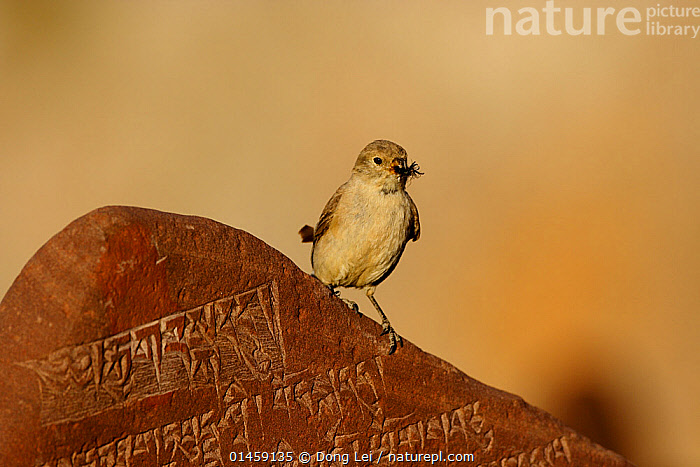 Tibetan snowfinch (Montifringilla adamsi) with prey, perched on Mani stone- a stone with mantra or prayer to Avalokiteshvara, near to Namtso lake, Nyaingqentanglha Mountains, Qinghai-Tibetan Plateau, Tibet, China, August.  ,  catalogue6,Animal,Vertebrate,Birds,Songbird,True sparrow,Snowfinch,Adams&#39, Snow Finch,Animalia,Animal,Wildlife,Vertebrate,Chordate,Aves,Birds,Passeriformes,Songbird,Passerine,Passeridae,True sparrow,Old world sparrow,Montifringilla,Snowfinch,Praying,Pray,Prayer,Prayers,Alertness,Alert,Cute,Adorable,Colour,Brown,No One,Nobody,Asia,East Asia,China,Horizontal,Close Up,Inscription,Inscriptions,Outdoors,Open Air,Outside,Day,Religion,Eastern Religion,Eastern Religions,Buddhism,Culture,Adams&#39, Snow Finch,Plateau,Food chain,Hues,Prey,Nyaingqentanglha Mountains,Carved  ,  Dong Lei