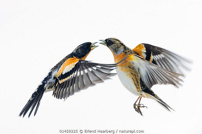 Brambling (Fringilla montifringilla) fighting. Vauldalen, Sor-trondelag. Norway, May.  ,  catalogue7,Animal,Vertebrate,Bird,Birds,Songbird,True finch,Brambling,Animalia,Animal,Wildlife,Vertebrate,Aves,Bird,Birds,Passeriformes,Songbird,Passerine,Fringillidae,True finch,Finch,Fringilla,Fringilla montifringilla,Brambling,Arguing,Rivalry,Rival,Rivals,Colour,Grey,Gray,Yellow,Face To Face,Face Each Other,Facing Each Other,Two,Nobody,Europe,Northern Europe,North Europe,Nordic Countries,Scandinavia,Norway,Plain Background,White Background,Profile,Horizontal,Close Up,Side View,Feather,Feathers,Wing,Wings,Snow,Indoors,Studio Shot,Studio Shots,Outdoors,Open Air,Outside,Day,Relationship Difficulties,Separating,Animal Behaviour,Aggression,Fighting,Behaviour,Plumage,Two animals,Vauldalen,Sor-Trondelag,Brekkebygd,Yellow Colour,Bickering  ,  Erlend  Haarberg