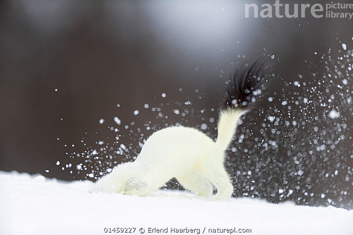 Stoat (Mustela erminea) digging in snow, in white winter coat. Vauldalen, Sor-Trondelag, Norway, May.  ,  high1314,Animal,Vertebrate,Mammal,Carnivore,Mustelid,Stoat,Animalia,Animal,Wildlife,Vertebrate,Mammalia,Mammal,Carnivora,Carnivore,Mustelidae,Mustelid,Mustela,Mustela erminea,Stoat,Ermine,Short-tailed Weasel,Digging,Disappearing,Disappear,Effort,Exertion,Trying,Humorous,White,Nobody,Europe,Northern Europe,North Europe,Nordic Countries,Scandinavia,Norway,Copy Space,Horizontal,Tail,Snow,Outdoors,Open Air,Outside,Winter,Day,Animal Behaviour,Colour-phases,Winter coat,Behaviour,Negative space,White colour,Avoiding,Vauldalen,Sor-Trondelag,Brekkebygd,Denial  ,  Erlend  Haarberg