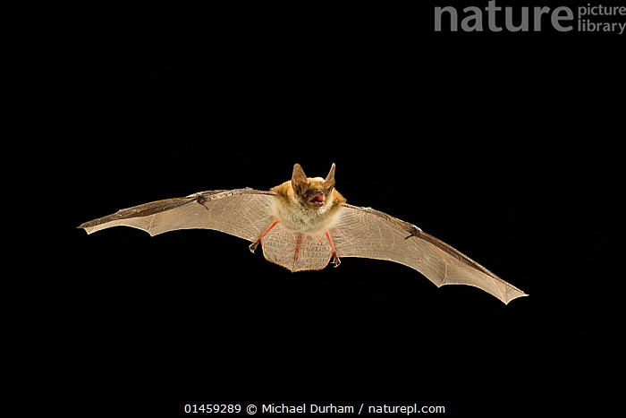 Young Fringed myotis bat (Myotis thysanodes) in flight, Coconino National Forest, Arizona, USA, July.  ,  ANIMAL,VERTEBRATE,MAMMAL,BAT,VESPERTILIONID BAT,MOUSE EARED BATS,FRINGED MYOTIS BAT,ANIMALIA,ANIMAL,WILDLIFE,VERTEBRATE,CHORDATE,MAMMALIA,MAMMAL,CHIROPTERA,BAT,VESPERTILIONIDAE,VESPERTILIONID BAT,MICROCHIROPTERA,MICROBAT,MICRO BAT,MYOTIS,MOUSE EARED BATS,MYOTIS THYSANODES,FRINGED MYOTIS BAT,FLYING,NORTH AMERICA,USA,CUTOUT,TECHNIQUE,HIGH SPEED,YOUNG ANIMAL,JUVENILE,NIGHT,NOCTURNAL,YOUNG,PROTECTED AREA,NATIONAL FOREST,FLIGHT  ,  Michael Durham