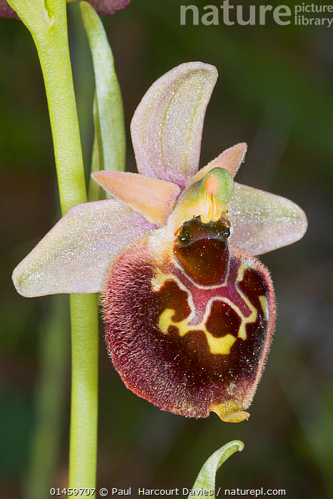 Small-patterned Ophrys (Ophrys fuciflora ssp. parvimaculata) Lesina, Gragnao, Puglia, Italy, April.  ,  PLANT,VASCULAR PLANT,FLOWERING PLANT,MONOCOT,ORCHID,BEE ORCHID,LATE SPIDER ORCHID,PLANTAE,PLANT,TRACHEOPHYTA,VASCULAR PLANT,MAGNOLIOPSIDA,FLOWERING PLANT,ANGIOSPERM,SEED PLANT,SPERMATOPHYTE,SPERMATOPHYTINA,ANGIOSPERMAE,ASPARAGALES,MONOCOT,MONOCOTYLEDON,LILIANAE,ORCHIDACEAE,ORCHID,OPHRYS,BEE ORCHID,OPHRYS FUCIFLORA,LATE SPIDER ORCHID,ARACHNITES FUCIFLORA,EUROPE,SOUTHERN EUROPE,SOUTH EUROPE,ITALY,CLOSE UPS,PLANTS,FLOWER,FLOWERING,FLOWERS,MIMICKING  ,  Paul  Harcourt Davies