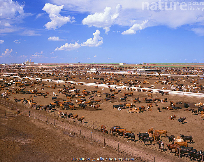 Grazing cows in feedlot, grassless enclosures where they are fed high energy grains to fatten them up prior to slaughter, Texas, USA, July.  ,  Herds,Group,Groups,Animal,Landscape,Landscapes,Scenic,Agriculture,Environment,Environmental Issues,Domestic animal,Cow,Cows,Domestic animals,Domesticated,Bos,Factory farming,North America  ,  Aflo