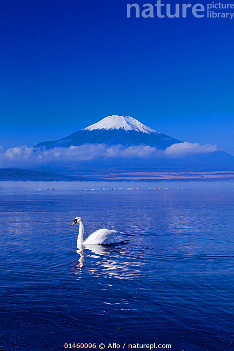 Mute swan (Cygnus olor) swimming in front of Mount Fuji, Lake Yamanaka, Five Lakes, Yamanashi Prefecture, Japan, November., ANIMAL,VERTEBRATE,BIRDS,WATERFOWL,TRUE SWAN,MUTE SWAN,ANIMALIA,ANIMAL,WILDLIFE,VERTEBRATE,AVES,BIRDS,ANSERIFORMES,WATERFOWL,ANATIDAE,CYGNUS,TRUE SWAN,CYGNUS OLOR,MUTE SWAN,MOOD,MOODS,CALM,ASIA,EAST ASIA,JAPAN,PROFILE,MOUNTAIN,LANDSCAPE,LANDSCAPES,SCENIC,FRESHWATER,LAKE,WATER,BIODIVERSITY HOTSPOTS,BIODIVERSITY HOTSPOT, Aflo
