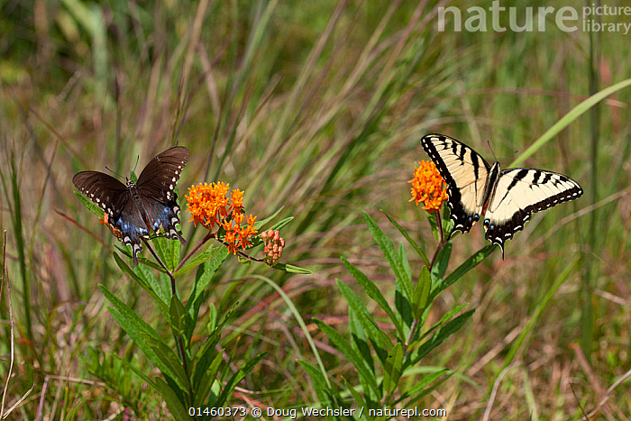 Eastern tiger swallowtail (Papilio glaucus) and Spicebush Swallowtail (Papilio troilus) on butterfly weed, French Creek State Park, Berks County, Pennsylvania, USA, August.  ,  ANIMAL,ARTHROPOD,INSECT,SWALLOWTAIL BUTTERFLY,EASTERN TIGER SWALLOWTAIL,SPICEBUSH SWALLOWTAIL,ANIMALIA,ANIMAL,WILDLIFE,HEXAPODA,ARTHROPOD,INVERTEBRATE,HEXAPOD,ARTHROPODA,INSECTA,INSECT,LEPIDOPTERA,LEPIDOPTERANS,PAPILIONIDAE,SWALLOWTAIL BUTTERFLY,PAPILIONID,BUTTERFLY,PAPILIO,PAPILIO GLAUCUS,EASTERN TIGER SWALLOWTAIL,TIGER SWALLOWTAIL BUTTERFLY,PAPILIO ALCIDAMAS,PAPILIO ALEXIARES,PAPILIO ANTILOCHUS,PAPILIO TROILUS,SPICEBUSH SWALLOWTAIL,COASTAL SPICEBUSH SWALLOWTAIL,FEEDING,NORTH AMERICA,USA,EASTERN USA,MID ATLANTIC US,PENNSYLVANIA,PLANT,PLANTS,FLOWER,FLOWERING,FLOWERS  ,  Doug Wechsler