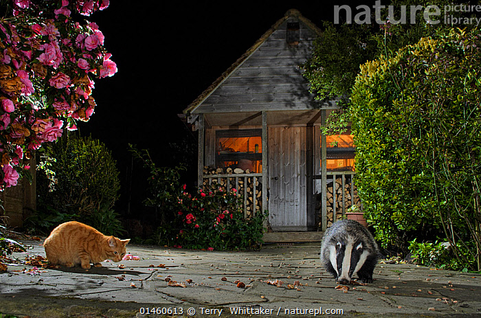 Badger (Meles meles) and domestic cat feeding together in urban garden, Kent, UK, May., ANIMAL,VERTEBRATE,MAMMAL,CARNIVORE,MUSTELID,BADGER,FELIS CATUS,ANIMALIA,ANIMAL,WILDLIFE,VERTEBRATE,CHORDATE,MAMMALIA,MAMMAL,CARNIVORA,CARNIVORE,MUSTELIDAE,MUSTELID,MELES,BADGER,MELES MELES,EURASIAN BADGER,EUROPE,WESTERN EUROPE,WEST EUROPE,UK,BRITAIN,GREAT BRITAIN,UNITED KINGDOM,ENGLAND,KENT,GARDENS,BUILDING,STORAGE BUILDING,STORAGE BUILDINGS,STORAGE FACILITIES,STORAGE FACILITY,SHED,SHEDS,NIGHT,NOCTURNAL,FEEDING,DOMESTIC ANIMAL,PET,DOMESTIC CAT,CATS,DOMESTIC ANIMALS,DOMESTICATED,FELIS CATUS, Terry  Whittaker