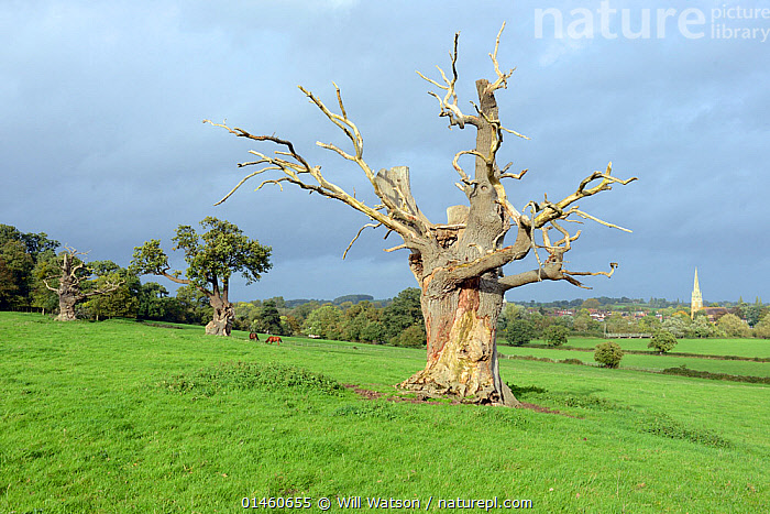Dead veteran Pedunculate Oak (Quercus robur), with bark damaged by horse, Upton-upton-Severn, Worcestershire, England, UK, October., PLANT,VASCULAR PLANT,FLOWERING PLANT,ROSID,OAK,PEDUNCULATE OAK,PLANTAE,PLANT,TRACHEOPHYTA,VASCULAR PLANT,MAGNOLIOPSIDA,FLOWERING PLANT,ANGIOSPERM,SEED PLANT,SPERMATOPHYTE,SPERMATOPHYTINA,ANGIOSPERMAE,FAGALES,ROSID,DICOT,DICOTYLEDON,ROSANAE,FAGACEAE,QUERCUS,OAK,OAK TREE,QUERCUS ROBUR,PEDUNCULATE OAK,ENGLISH OAK TREE,FRENCH OAK,QUERCUS PEDUNCULATA,QUERCUS LONGAEVA,DAMAGED,DAMAGE,DEAD,EUROPE,WESTERN EUROPE,WEST EUROPE,UK,BRITAIN,GREAT BRITAIN,UNITED KINGDOM,ENGLAND,WORCESTERSHIRE,PLANTS,TREE,TREES,DEATH,TREE,TREES, Will Watson