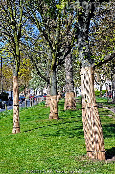 Bamboo wrapping tree guards around trees lower trunk to protect their bark being striped by dogs, Highbury, London Borough of Islington, England, UK, April 2010., Protection,Europe,Western Europe,UK,Great Britain,England,London,Greater London,Vertical,Plant,Tree,, Pat  Tuson
