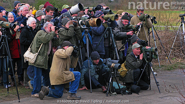 Twitchers gathering to watch White-crowned Sparrow (Zonotrichia leucophrys) at Cley, North Norfolk, England, UK, January 2008.  ,  ANIMAL,VERTEBRATE,BIRDS,ANIMALIA,ANIMAL,WILDLIFE,VERTEBRATE,CHORDATE,AVES,BIRDS,BIRD WATCHING,ORNITHOLOGY,PEOPLE,GROUP,EUROPE,WESTERN EUROPE,WEST EUROPE,UK,BRITAIN,GREAT BRITAIN,UNITED KINGDOM,ENGLAND,NORFOLK,BOOKPLATE,BIRDS AND PEOPLE  ,  David Tipling