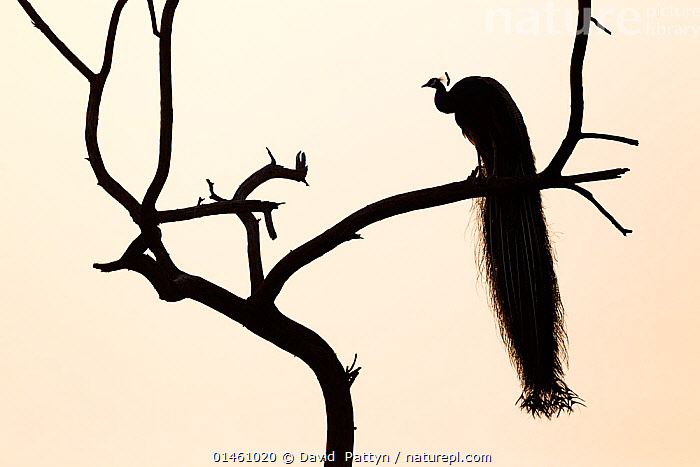 Silhouette of Common peafowl (Pavo cristatus) perched in a tree at dawn. Keoladeo Ghana National Park, Bharatpur, Rajasthan, India.  ,  catalogue6,Animal,Vertebrate,Birds,Peafowl,Common peafowl,Animalia,Animal,Wildlife,Vertebrate,Chordate,Aves,Birds,Galliformes,Galliforms,Galloanserae,Phasianidae,Pavo,Peafowl,Peacock,Peahen,Phasianinae,Pavo cristatus,Common peafowl,Indian peafowl,Blue peafowl,Indian peacock,Majestic,Mystery,Mysterious,Patience,Pride,Proud,Alone,Solitude,Solitary,Colour,Black,No One,Nobody,Asia,Indian Subcontinent,India,Plain Background,Profile,Side View,Lighting Technique,Back Lit,Backlit,Plant,Branch,Branches,Tail,Silhouette,Protected area,National Park,Dawn,Dramatic,Cream Background,Tail Feather,Rajasthan,Keoladeo National Park,Bharatpur,Haughty,,UNESCO World Heritage Site,  ,  David  Pattyn