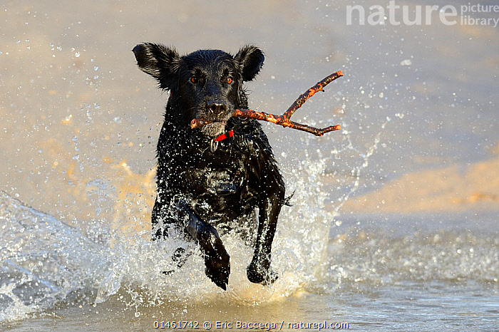 Black flat-coated retriever dog splashing in water and retrieving stick (Canis familiaris), catalogue6,Canis familiaris,Retrieving,Fetch,Fetches,Fetching,Retrieve,Retrieves,Running,Splashing,Energetic,Dynamic,Dynamism,Excitement,Eagerness,Enthusiasm,Enthusiastic,Excited,Obedience,No One,Nobody,Horizontal,Front View,View From Front,Animal,Stick,Sticks,Water&#39,s Edge,Outdoors,Open Air,Outside,Day,Animal Behaviour,Playing,Domestic animal,Pet,Behaviour,Domestic Dog,Gun dog,Large dog,Flat Coated Retriever,Domestic animals,Domesticated,Play,Playful,Canis familiaris,Dog,Energy,Holding in mouth,Communication, Eric Baccega