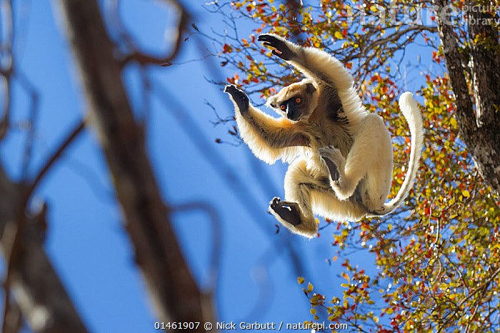 Golden-crowned Sifaka (Propithecus tattersalli) leaping through forest canopy. Forests adjacent to the village of Andranotsimaty, near Daraina, northern Madagascar. Critically endangered species., high1314,Animal,Vertebrate,Mammal,Sifaka,Golden-crowned Sifaka,Animalia,Animal,Wildlife,Vertebrate,Mammalia,Mammal,Primate,Primates,Indriidae,Prosimians,Propithecus,Sifaka,Propithecus tattersalli,Golden-crowned Sifaka,Tattersall's Sifaka,Gesturing,Arms Raised,Jumping,Concentrate,Concentrated,Concentrating,Concentration,Agility,Agile,Balance,Determination,Focus,Mischief,On The Move,Mid Air,Nobody,Africa,Madagascar,Malagasy Republic,Republic of Madagascar,Low Angle View,Outdoors,Open Air,Outside,Day,Forest,Conservation,Biodiversity hotspots,Biodiversity hotspot,Moving,Focused,Critically Endangered,Daraina,Bandit,Endangered species,threatened,Endangered,,Rebel,, Nick Garbutt