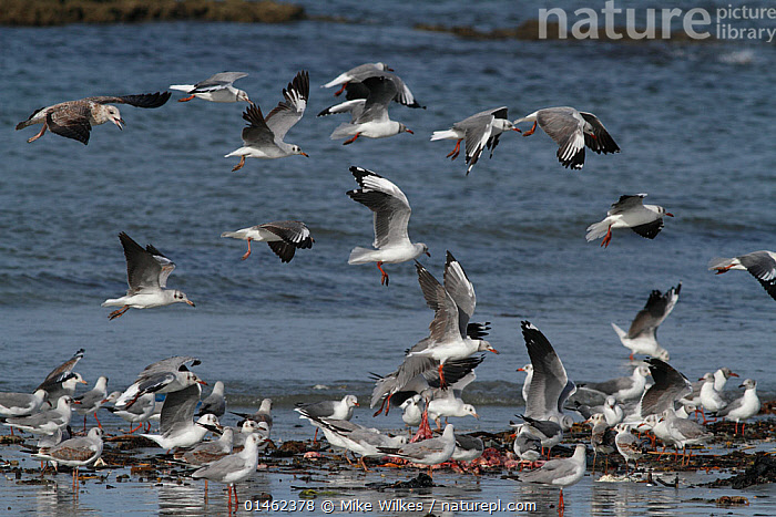 Grey-headed gullls (Larus cirrocephalus poiocephalus) feeding on discarded fish offal, Tanji Beach, Gambia, west Africa., ANIMAL,VERTEBRATE,BIRDS,GULL,GREY HEADED GULL,ANIMALIA,ANIMAL,WILDLIFE,VERTEBRATE,CHORDATE,AVES,BIRDS,CHARADRIIFORMES,LARIDAE,GULL,SEABIRD,CHROICOCEPHALUS,CHROICOCEPHALUS CIRROCEPHALUS,GREY HEADED GULL,GREY HOODED GULL,LARUS CIRROCEPHALUS,FLOCK,FLOCKING,FLOCKS,GROUP,AFRICA,WEST AFRICA,GAMBIA,THE GAMBIA,FEEDING,SEAGULLS, Mike Wilkes