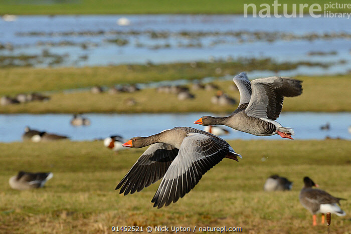Greylag goose pair (Anser anser) in flight over flooded pastureland with many grazing wildfowl, Gloucestershire, UK, September., ANIMAL,VERTEBRATE,BIRDS,WATERFOWL,TRUE GOOSE,GREYLAG GOOSE,ANIMALIA,ANIMAL,WILDLIFE,VERTEBRATE,CHORDATE,AVES,BIRDS,ANSERIFORMES,WATERFOWL,FOWL,GALLOANSERANS,ANATIDAE,ANSER,TRUE GOOSE,GOOSE,ANSERINI,ANSERINAE,ANSER ANSER,GREYLAG GOOSE,GREY GOOSE,FLOCK,FLOCKING,FLOCKS,GROUP,EUROPE,WESTERN EUROPE,UK,GREAT BRITAIN,ENGLAND,GLOUCESTERSHIRE,PASTURES,GRASSLAND,HABITAT,WATERFOWLS,WILDFOWL,WILDFOWLS),GOOSE,GEESE,United Kingdom, Nick Upton
