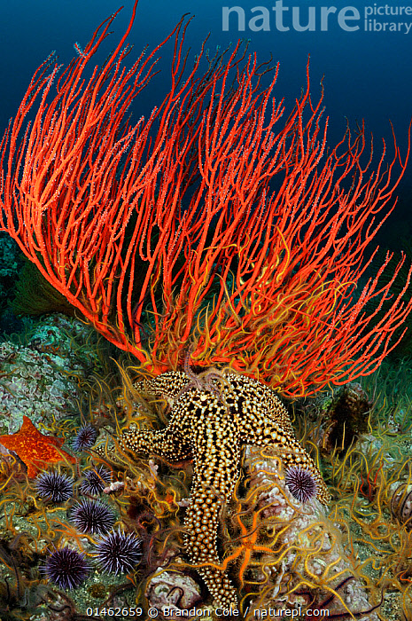 Red gorgonian coral (Lophogorgia chilensis), Giant sea star (Pisaster giganteus), purple sea urchins (Stronglyocentrotus purpuratus) and Spiny brittle stars (Ophiothrix spiculata) on a coral reef, Channel Islands National Marine Sanctuary, California, USA, August.  ,  ANIMAL,CNIDARIAN,ANTHROZOAN,SOFT CORAL,RED GORGONIAN CORAL,ECHINODERM,STARFISH,SEA STAR,GIANT SPINED SEA STAR,BRITTLE STAR,BRITTLESTAR,SEA URCHIN,PURPLE SEA URCHIN,ANIMALIA,ANIMAL,WILDLIFE,CNIDARIA,CNIDARIAN,COELENTRERATA,ANTHOZOA,ANTHROZOAN,ALCYONACEA,SOFT CORAL,GORGONIIDAE,LOPHOGORGIA,LOPHOGORGIA CHILENSIS,RED GORGONIAN CORAL,ECHINODERMATA,ECHINODERM,ASTEROIDEA,STARFISH,STAR FISH,FORCIPULATIDA,ASTERIIDAE,PISASTER,SEA STAR,PISASTER GIGANTEUS,GIANT SPINED SEA STAR,ASTERIAS EXQUISITA,ASTERIAS GIGANTEA,PISASTER LUETKENI,OPHIUROIDEA,BRITTLE STAR,BRITTLESTAR,OPHIURIDA,OPHIOTRICHIDAE,OPHIOTHRIX,OPHIOTHRIX SPICULATA,OPHIOHRIX DUMOSA,ECHINOIDEA,SEA URCHIN,CAMARODONTA,STRONGYLOCENTROTIDAE,STRONGYLOCENTROTUS,STRONGYLOCENTROTUS PURPURATUS,PURPLE SEA URCHIN,COLOURFUL,COLORFUL,NORTH AMERICA,USA,WESTERN USA,SOUTHWEST US,CALIFORNIA,VERTICAL,REEFS,CORAL REEFS,OCEAN,OCEANS,PACIFIC OCEAN,MARINE,UNDERWATER,TEMPERATE,PROTECTED AREA,NATIONAL PARK,NP,RESERVE,INVERTEBRATE,INVERTEBRATES,MARINE  ,  Brandon Cole