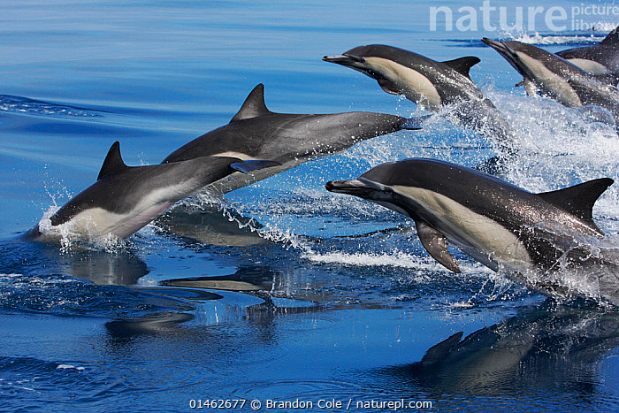 Large group of Common dolphins (Delphinus delphis) breaching, Channel Islands National Marine Sanctuary, California, USA, August., ANIMAL,VERTEBRATE,MAMMAL,CETEACEAN,OCEANIC DOLPHIN,COMMON DOLPHINS,ATLANTIC DOLPHIN,ANIMALIA,ANIMAL,WILDLIFE,VERTEBRATE,CHORDATE,MAMMALIA,MAMMAL,CETACEA,CETEACEAN,DELPHINIDAE,OCEANIC DOLPHIN,DOLPHIN,ODONTOCETI,DELPHINUS,COMMON DOLPHINS,DELPHINUS DELPHIS,ATLANTIC DOLPHIN,PACIFIC DOLPHIN,SADDLE BACKED DOLPHIN,SHORT BEAKED COMMON DOLPHIN,SHORT BEAKED SADDLEBACK DOLPHIN,MANY,GROUP,LARGE GROUP,NORTH AMERICA,USA,WESTERN USA,SOUTHWEST US,CALIFORNIA,OCEAN,OCEANS,PACIFIC OCEAN,MARINE,SURFACE,ANIMAL BEHAVIOUR,TEMPERATE,BEHAVIOUR,BREACHES,MULTITUDE,MASS,PROTECTED AREA,NATIONAL PARK,NP,RESERVE,POD,MARINE, Brandon Cole