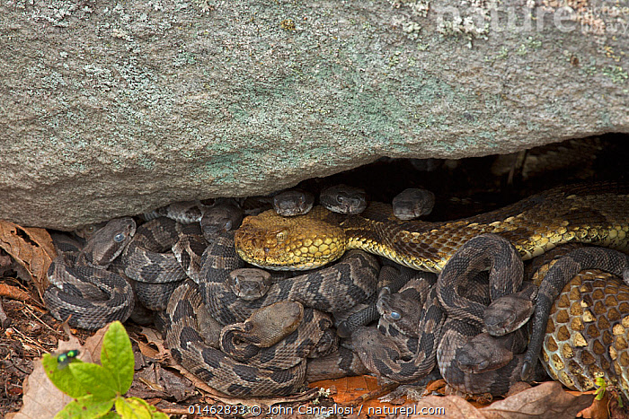 DUPLICATE Timber Rattlesnakes (Crotalus horridus) new-born young with adult, Pennsylvania, USA, September., ANIMAL,VERTEBRATE,REPTILE,SQUAMATE,VIPER,RATTLESNAKE,TIMBER RATTLESNAKE,ANIMALIA,ANIMAL,WILDLIFE,VERTEBRATE,CHORDATE,REPTILIA,REPTILE,SQUAMATA,SQUAMATE,VIPERIDAE,VIPER,VIPERID SNAKES,SNAKE,CROTALUS,RATTLESNAKE,RATTLER,PITVIPER,PIT VIPER,CROTALUS HORRIDUS,TIMBER RATTLESNAKE,CROTALUS ATRICAUDATUS,CROTALUS HORRIDUS HORRIDUS,NORTH AMERICA,USA,EASTERN USA,MID ATLANTIC US,PENNSYLVANIA,YOUNG ANIMAL,JUVENILE,BABIES,FEMALE ANIMAL,YOUNG,VENOMOUS, John Cancalosi