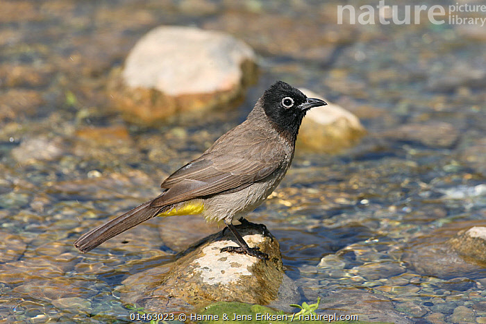 White spectacled bulbul (Pycnonotus xanthopygos) perched on rock in stream, Oman, May  ,  ANIMAL,VERTEBRATE,BIRDS,SONGBIRD,BULBUL,YELLOW VENTED BULBUL,ANIMALIA,ANIMAL,WILDLIFE,VERTEBRATE,CHORDATE,AVES,BIRDS,PASSERIFORMES,SONGBIRD,PASSERINE,PYCNONOTIDAE,BULBUL,PYCNONOTUS,PYCNONOTUS XANTHOPYGOS,YELLOW VENTED BULBUL,BLACK CAPPED BULBUL,WHITE SPECTACLED BULBUL,ASIA,MIDDLE EAST,WEST ASIA,WESTERN ASIA,SULTANATE OF OMAN,FLOWING WATER,STREAM,STREAMS,FRESHWATER,WATER  ,  Hanne & Jens Eriksen