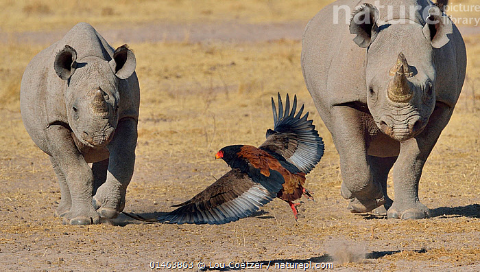 Bateleur eagle (Terathopius ecaudatus) flying away from approaching Black rhino (Diceros bicornis) and calf, Etosha National Park, Namibia, July, Critically endangered species.  ,  catalogue7,Animal,Vertebrate,Bird,Birds,Eagle,Bateleur eagle,Mammal,Odd toed ungulate,Rhinoceros,Black rhino,Black Rhinoceros,Animalia,Animal,Wildlife,Vertebrate,Aves,Bird,Birds,Accipitriformes,Accipitridae,Terathopius,Eagle,Bird of prey,Raptor,Terathopius ecaudatus,Bateleur eagle,Bateleur,Mammalia,Mammal,Perissodactyla,Odd toed ungulate,Rhinocerotidae,Rhinoceros,Rhino,Diceros,Black rhino,Diceros bicornis,Black Rhinoceros,Hook-lipped Rhinoceros,Approaching,Approach,Approaches,Approachs,Flying,Walking,Determination,Escape,Escapes,Escaping,Fear,Side By Side,Few,Three,Group,Nobody,Africa,Southern Africa,Namibia,South-West Africa,Front View,View From Front,Young Animal,Juvenile,Babies,Baby Mammal,Calf,Wing,Wings,Outdoors,Open Air,Outside,Day,Nature,Natural,Natural World,Wild,Animals In The Wild,Animal In The Wild,Wild Animal,Wild Animals,Reserve,Conservation,Mixed species,Protected area,National Park,Flight,Wings spread,Wingspan,Namibian,Three Animals,Etosha National Park,Critically Endangered,Endangered species,threatened,Critically endangered  ,  Lou Coetzer