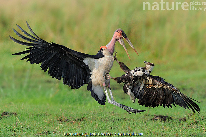 Juvenile African fish eagle (Haliaeetus vocifer) and Marabou stork (Leptoptilos crumeniferus) fighting, Chobe River, Botswana., catalogue7,Animal,Vertebrate,Bird,Birds,Sea eagle,African fish eagle,Stork,Marabou,Vicious,Animalia,Animal,Wildlife,Vertebrate,Aves,Bird,Birds,Accipitriformes,Accipitridae,Haliaeetus,Sea eagle,Eagle,Bird of prey,Raptor,Haliaeetus vocifer,African fish eagle,Fish eagle,River eagle,Ciconiiformes,Ciconiidae,Stork,Leptoptilos,Leptoptilos crumeniferus,Marabou,Marabou stork,Attacking,Flying,Bully,Bullies,Bullying,Contrasts,Threat,Menace,Menaces,Menacing,Threatening,Threats,Black,Face To Face,Face Each Other,Facing Each Other,Two,Nobody,Size,Small,Little,Tiny,Large,Big,Africa,Southern Africa,Botswana,Close Up,Side View,Young Animal,Juvenile,Mouth,Beak,Beaks,Wing,Wings,Outdoors,Open Air,Outside,Day,Nature,Natural,Natural World,Wild,Animals In The Wild,Animal In The Wild,Wild Animal,Wild Animals,Violence,Ferocious,Violent,Grassland,Animal Behaviour,Aggression,Fighting,Mixed species,Behaviour,Flight,Wings spread,Wingspan,Two animals,Open Mouth,Vicious, Lou Coetzer