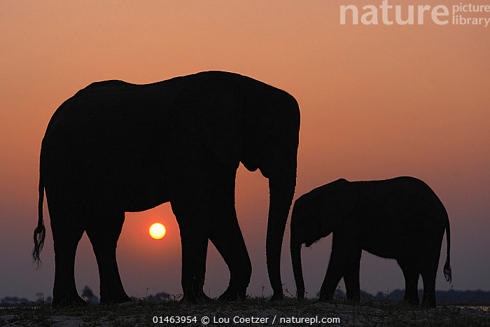 African elephant (Loxodonta africana) adult and juvenile silhouetted, Chobe River, Botswana, August, Vulnerable species., high1314,Animal,Vertebrate,Mammal,Elephant,African elephants,African elephant,Animalia,Animal,Wildlife,Vertebrate,Mammalia,Mammal,Proboscidea,Elephantidae,Elephant,Loxodonta,African elephants,Loxodonta africana,African elephant,Standing,Advice,Advise,Advising,Face To Face,Face Each Other,Facing Each Other,Two,Nobody,Scolding,Disapproval,Disapproves,Disapproving,Disaprove,Reprimand,Reprimanding,Reprimands,Scold,Scolds,Tell Off,Telling Off,Worried,Africa,Southern Africa,Botswana,Copy Space,Full Length,Full Lengths,Whole,Profile,Side View,Back Lit,Backlit,Young Animal,Juvenile,Sunset,Setting Sun,Sunsets,Outdoors,Open Air,Outside,Twilight,Evening,Night,Nature,Natural,Natural World,Endangered Species,Threatened,Silhouette,Family,Mother baby,Mother-baby,mother,The Sun,Dusk,Two animals,Negative space,Parent baby,Parenting,Vulnerable species,Chobe River,Counselling,Endangered species,threatened,Endangered, Lou Coetzer