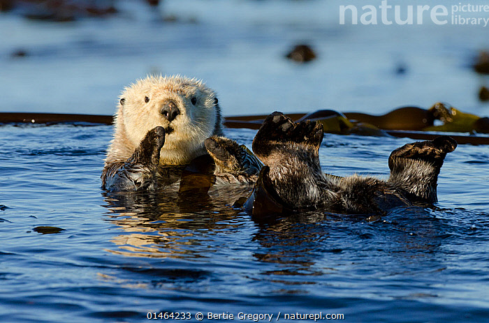 Northern sea otter (Enhydra lutris kenyoni) floating amongst bull kelp, Vancouver Island, British Columbia, Canada, July., ANIMAL,VERTEBRATE,MAMMAL,CARNIVORE,MUSTELID,SEA OTTER,SEA OTTER,NORTHERN SEA OTTER,ANIMALIA,ANIMAL,WILDLIFE,VERTEBRATE,CHORDATE,MAMMALIA,MAMMAL,CARNIVORA,CARNIVORE,MUSTELIDAE,MUSTELID,ENHYDRA,SEA OTTER,ENHYDRA LUTRIS,SEA OTTER,RESTING,REST,FLOATING,NORTH AMERICA,CANADA,BRITISH COLUMBIA,OCEAN,OCEANS,PACIFIC OCEAN,MARINE,SURFACE,TEMPERATE,SALTWATER,ENHYDRA LUTRIS KENYONI,NORTHERN SEA OTTER,ENDANGERED SPECIES,THREATENED,ENDANGERED, Bertie Gregory