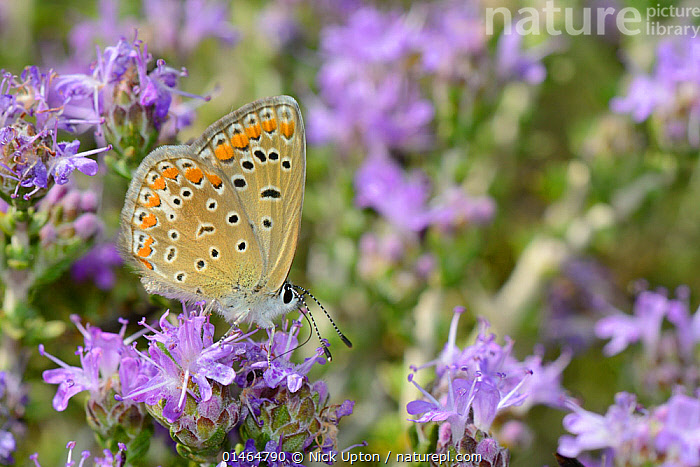Female Common blue butterfly (Polyommatus icarus) nectaring on Headed thyme / Wild thyme flowers (Thymus capitatus), Vai, Crete, Greece, May.  ,  ANIMAL,ARTHROPOD,INSECT,GOSSAMER WINGED BUTTERFLY,COMMON BLUE,ANIMALIA,ANIMAL,WILDLIFE,HEXAPODA,ARTHROPOD,INVERTEBRATE,HEXAPOD,ARTHROPODA,INSECTA,INSECT,LEPIDOPTERA,LEPIDOPTERANS,LYCAENIDAE,GOSSAMER WINGED BUTTERFLY,POLYOMMATUS,POLYOMMATUS ICARUS,COMMON BLUE,BIOLOGICAL PROCESS,POLLINATION,POLLINATE,POLLINATES,POLLINATING,COLOUR,PURPLE,EUROPE,SOUTHERN EUROPE,SOUTH EUROPE,GREECE,PROFILE,FEEDING,COLOR  ,  Nick Upton
