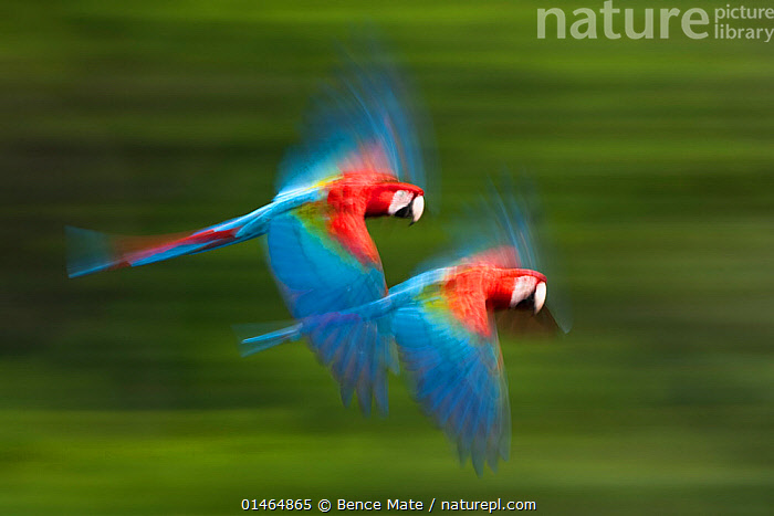 Red and green macaws (Ara chloropterus) in flight, motion blurred photograph, Buraxo das aras, Brazil., high1314,Animal,Vertebrate,Bird,Birds,Parrot,True parrot,Macaw,Green winged macaw,Animalia,Animal,Wildlife,Vertebrate,Aves,Bird,Birds,Psittaciformes,Parrot,Psittacines,Psittacidae,True parrot,Psittacoidea,Ara,Macaw,Neotropical parrots,Arini,Arinae,Ara chloroptera,Green winged macaw,Red and green macaw,Ara chloropterus,Flying,Energetic,Fear,On The Move,Speed,Partnership,Urgency,Colour,Blue,Colourful,Colorful,Two,Nobody,Vibrant Colour,Terrified,Terrify,Terror,Panic,Latin America,Central America,Costa Rica,Horizontal,Side View,Photographic Effect,Blurred Motion,Blurred Movement,Wing,Wings,Outdoors,Open Air,Outside,Day,Arty shots,Biodiversity hotspot,Bookplate,Flight,Handbook of Bird Photography,Wings spread,Wingspan,Two animals,Moving,Hurrying,Blue Colour,Vitality,Buraxo das Aras, Bence  Mate