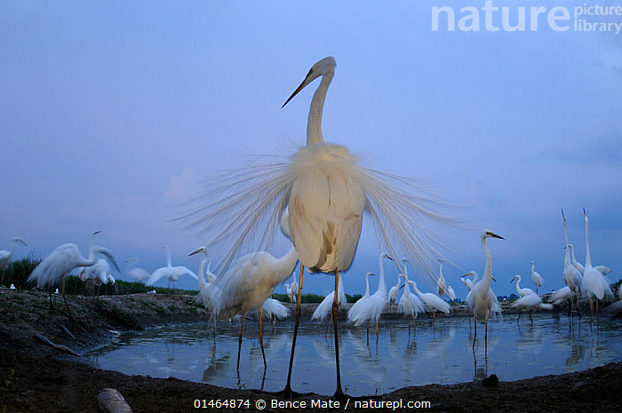 Great egret (Ardea alba) around pool, displaying with ornamental feathers fanned out, Hungary, May., ANIMAL,VERTEBRATE,BIRDS,TYPICAL HERON,GREAT EGRET,ANIMALIA,ANIMAL,WILDLIFE,VERTEBRATE,CHORDATE,AVES,BIRDS,PELECANIFORMES,ARDEIDAE,ARDEA,TYPICAL HERON,HERON,ARDEINAE,ARDEA ALBA,GREAT EGRET,GREAT WHITE EGRET,LARGE EGRET,GREAT WHITE HERON,CASMERODIUS ALBUS,EGRETTA ALBA,EUROPE,EASTERN EUROPE,EAST EUROPE,HUNGARY,HORIZONTAL,REAR VIEW,BACK,FROM BEHIND,TECHNIQUE,PHOTOGRAPHIC EFFECT,BLURRED MOTION,BLURRED MOVEMENT,ARTY SHOTS,ARTY SHOTS,ARTISTIC,BOOKPLATE,HANDBOOK OF BIRD PHOTOGRAPHY, Bence  Mate