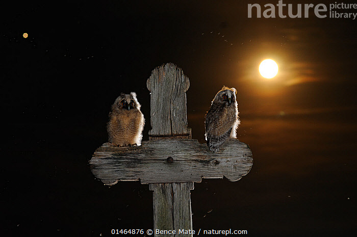 Long eared owl (Asio otus) chicks perched on a cross, with the moon, in the background, Puszatszer, Hungary, June., ANIMAL,VERTEBRATE,BIRDS,OWL,TRUE OWL,LONG EARED OWL,ANIMALIA,ANIMAL,WILDLIFE,VERTEBRATE,CHORDATE,AVES,BIRDS,STRIGIFORMES,OWL,BIRD OF PREY,STRIGIDAE,TRUE OWL,TYPICAL OWL,STRIGINAE,ASIO,ASIO OTUS,LONG EARED OWL,NORTHERN LONG EARED OWL,COMMON LONG EARED OWL,STRIX OTUS,TWO,EUROPE,EASTERN EUROPE,EAST EUROPE,HUNGARY,HORIZONTAL,YOUNG ANIMAL,JUVENILE,BABIES,CHICK,BABY BIRD,BABY BIRDS,YOUNG BIRDS,CHICKS,SYMBOL,SPIRITUAL SYMBOL,CROSS,MOON,THE MOON,NIGHT,NOCTURNAL,2,YOUNG,BOOKPLATE,HANDBOOK OF BIRD PHOTOGRAPHY, Bence  Mate